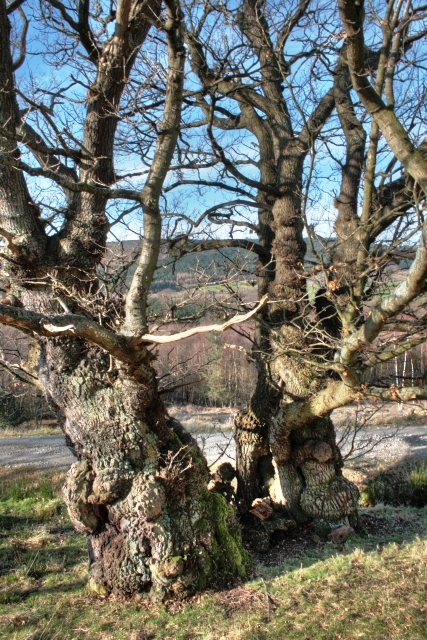 Ancient Tree, Ingleby Forest