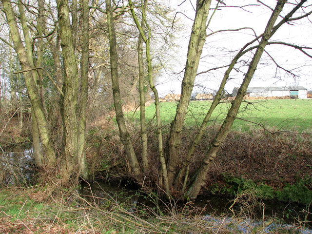 Coppiced trees growing by stream