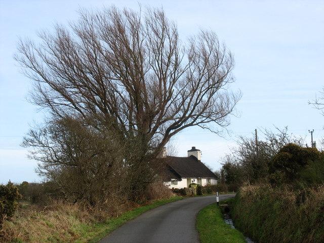 Dwarfed by a giant tree - Nant Cottage, Llaneuddog