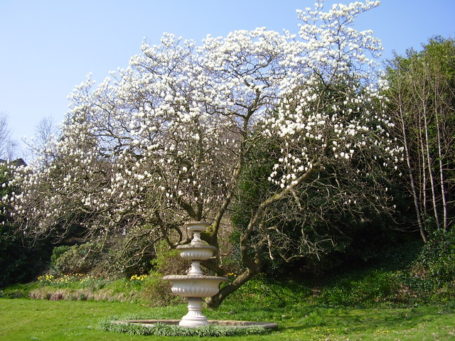 Magnolia Tree in chapel grounds
