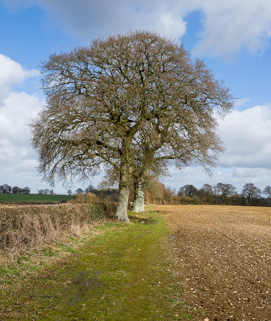 Oak Trees along footpath near Westfield Farm