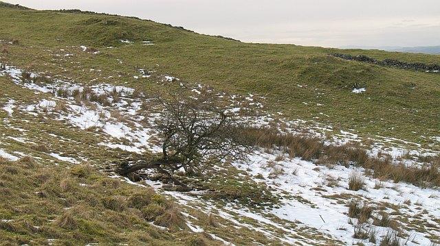 Thorn tree, Hay Fell