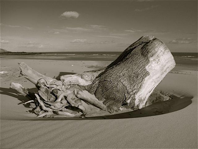 Newburgh: stranded tree on Newburgh beach