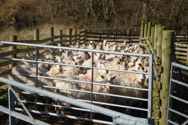 Penned sheep at Milkieston Farm