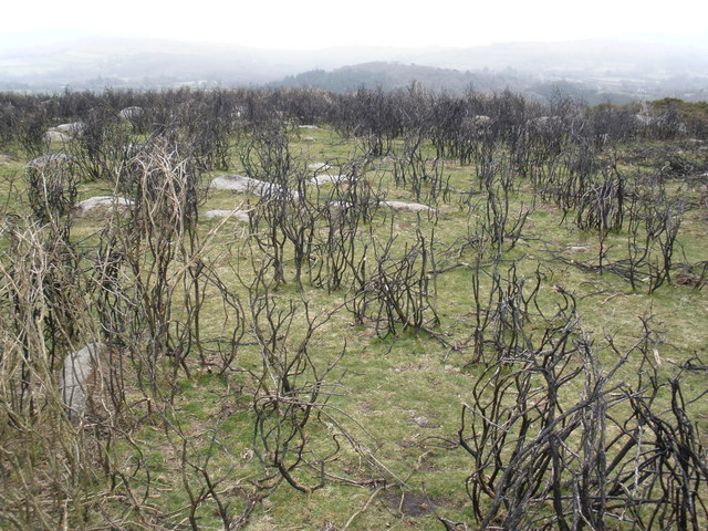 Burned gorse, on moorland, above Lustleigh Cleave