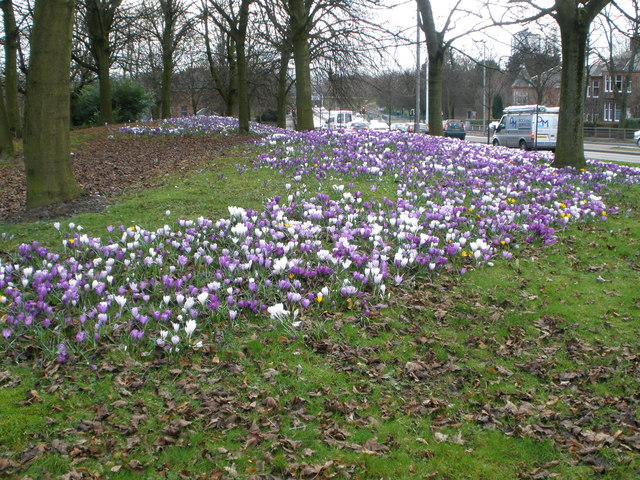 Crocus on approach road to Clyde tunnel