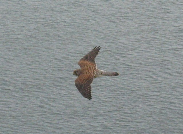 A kestrel off the Great Orme