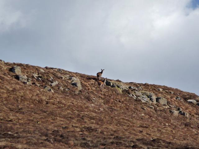 Deer on Creag-a' Ghuail