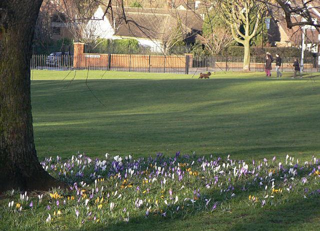 Crocuses in Woodthorpe Grange Park