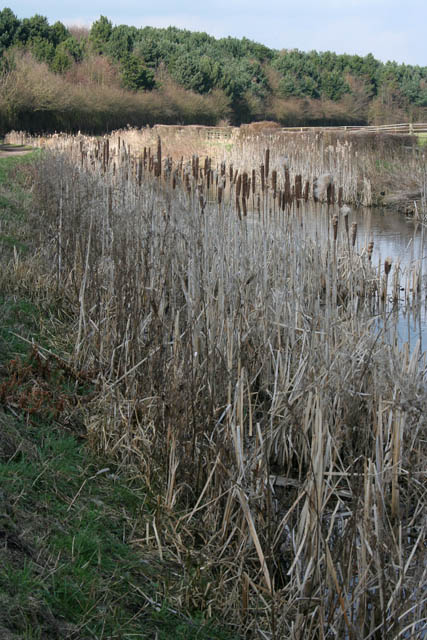 By the Nottingham Canal - Great Reedmace, or Bulrush (Typha latifolia)