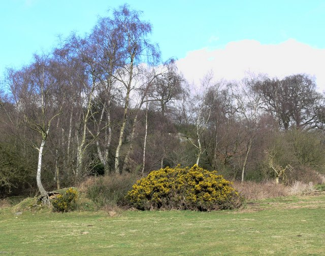 Silver Birch and gorse