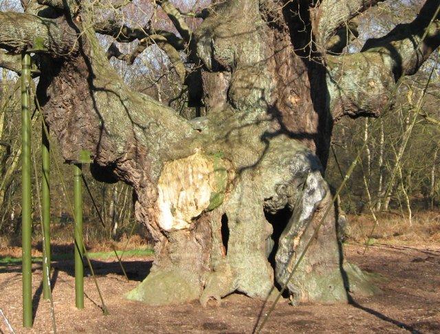 The hollow Major Oak, Sherwood Forest