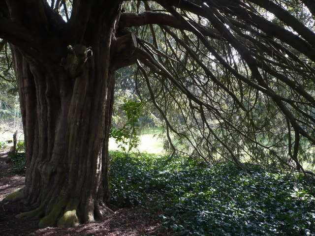 Looking eastwards through a yew tree in the churchyard of St. Mary, Eastwell