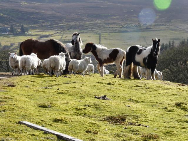 Sheep and horses above Tressady