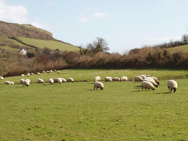 Sheep in Branscombe