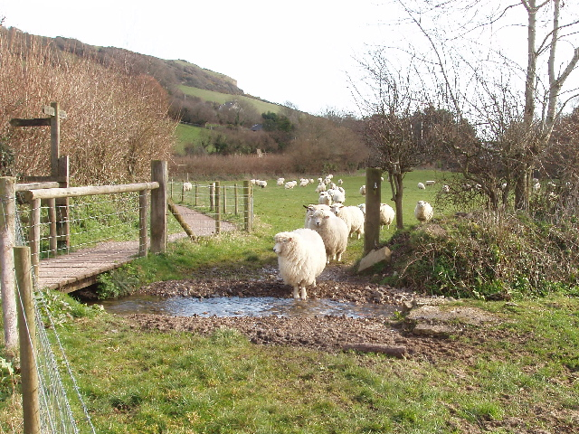Sheep hesitate before crossing a stream, Branscombe