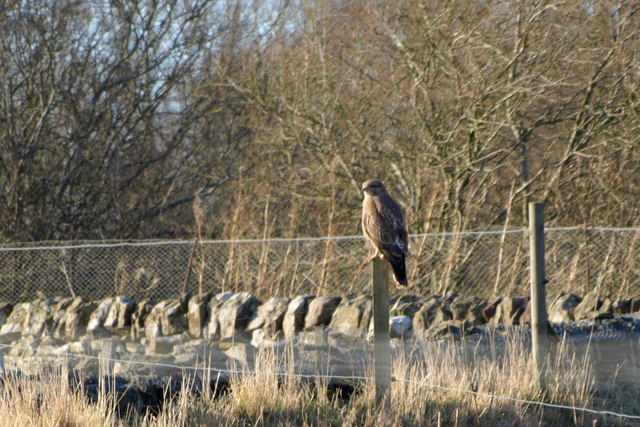 Buzzard on a Post at the edge of the Dismantled Railway near Restenneth