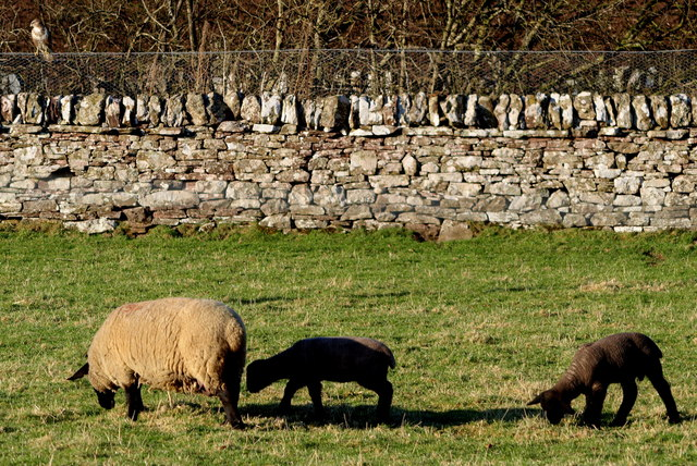 Sheep with Lambs in a field adjacent to Dismantled Railway near Restenneth