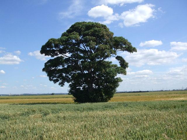 Lone tree in summer