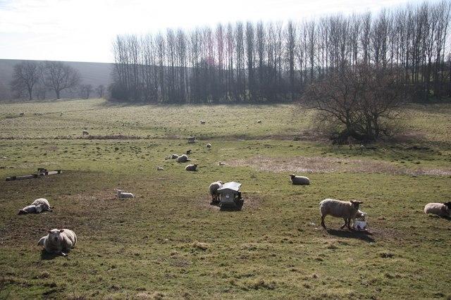 Thoresway sheep