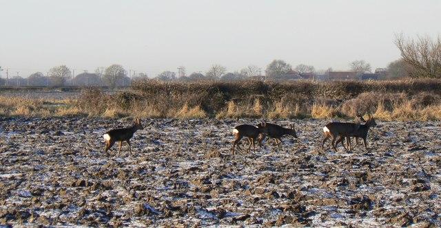 Roe Deer Crossing