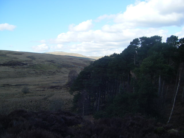Mature Scots Pines