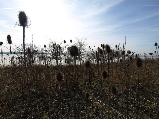 Teasels on the Humber Bank