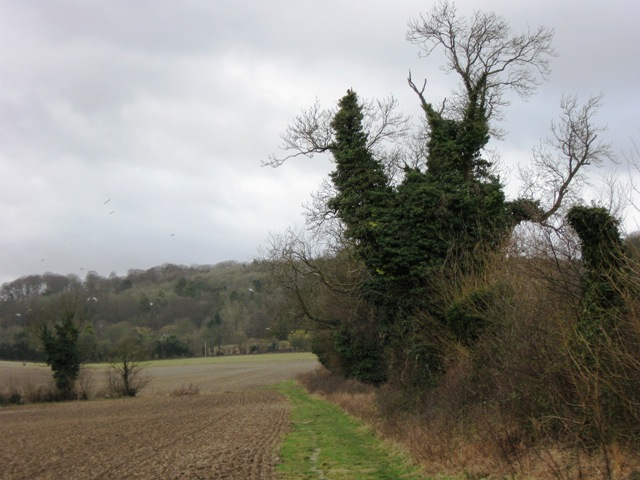Ivy-covered Tree beside a footpath looking towards Coombe Hill