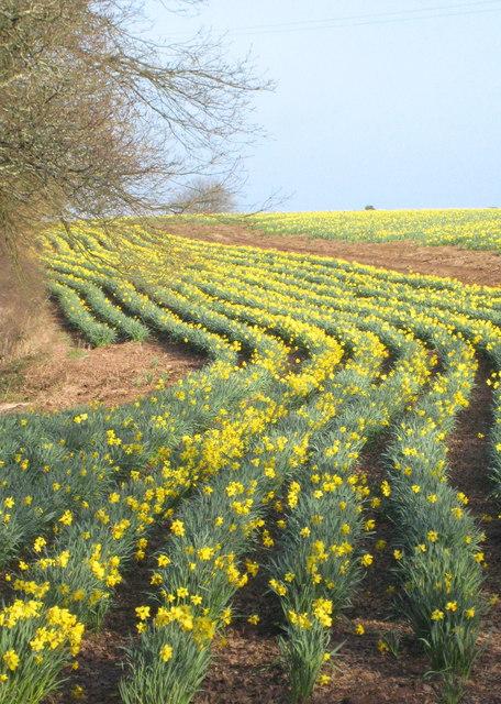 Daffodil field at Mawnan Smith