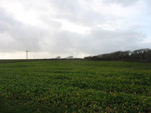 A field of kale to the front of Llangwyfan-isaf