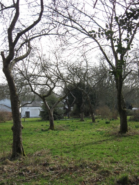 An Old Orchard near Cholesbury Camp