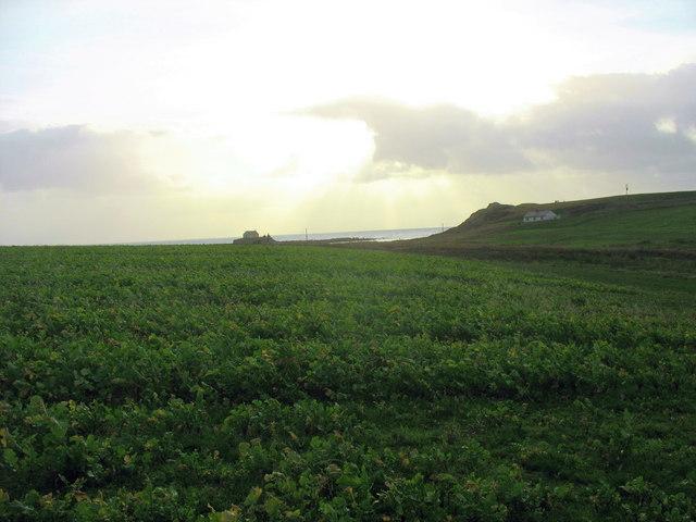 St Cwyfan's Church viewed across a field of kale