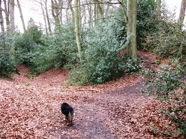 Cholesbury Camp – The Ditch is choked with holly