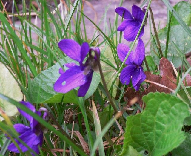 Violets at Redford