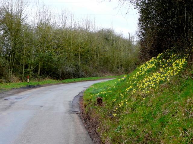 Bank of daffodils