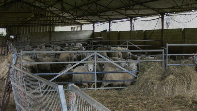 Sheep at Home Farm