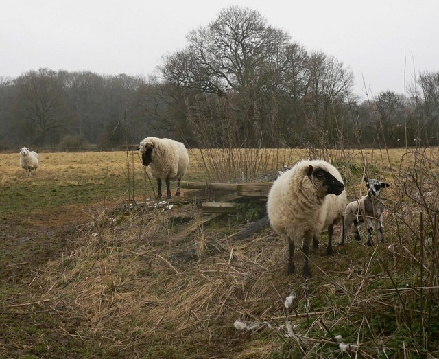 Sheep and lamb at Slathurst Farm