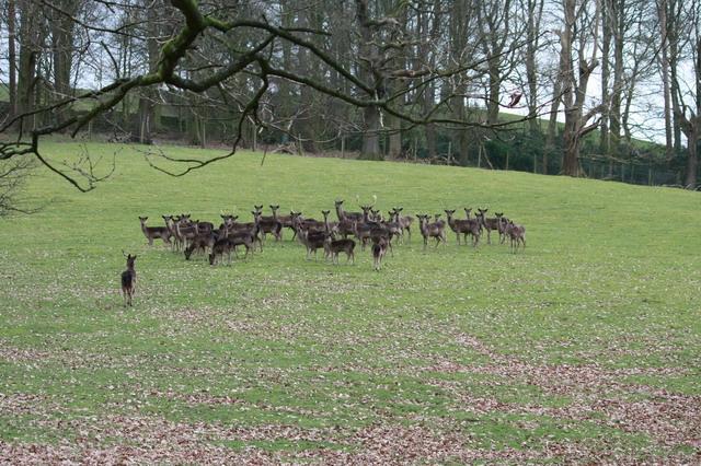 Park Deer