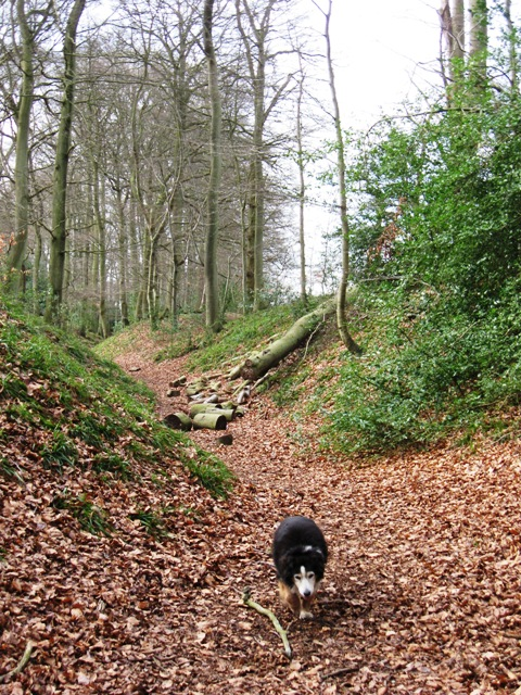 Cholesbury Camp – Main Ditch with fallen tree