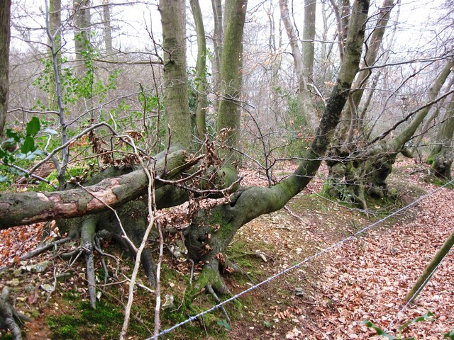 Twisted Trees in the old Bridleway hedgerow