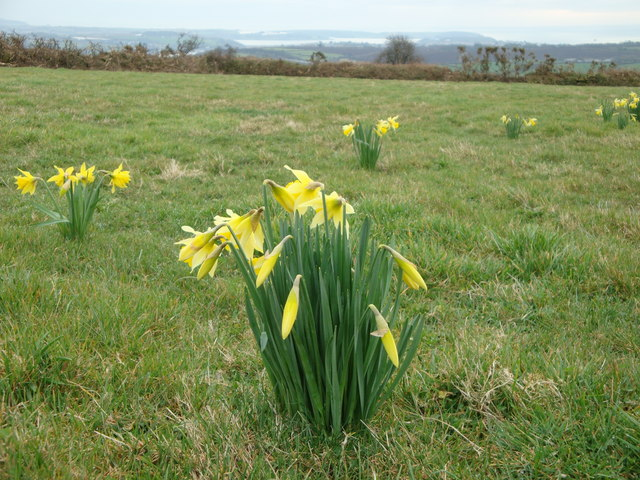 Daffodils growing wild