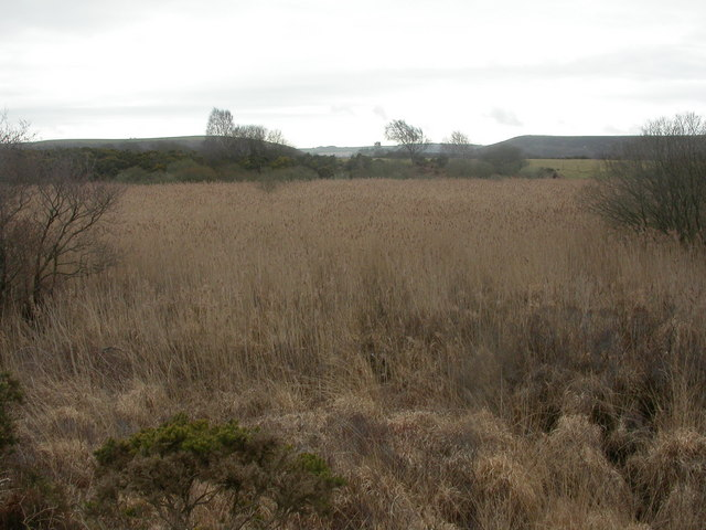 Middlebere Heath, reedbeds