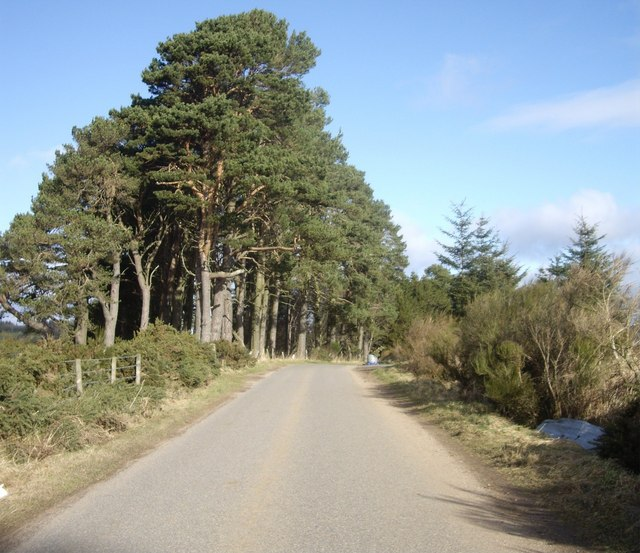 Pine trees at Kintocher
