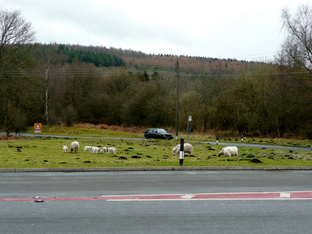 Free range sheep at Cannop Crossroads