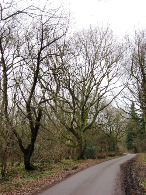Trees by Forest Drive, Wendover Woods