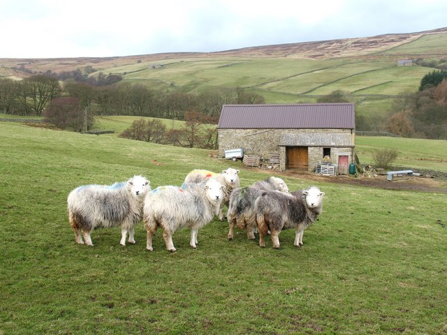 Field barn and Herdwicks