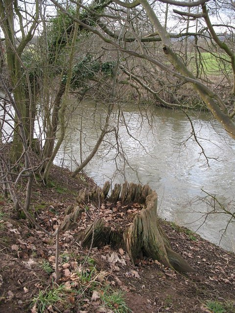 Oak stump and River Teme