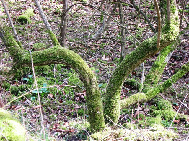Twisted Stems with Moss