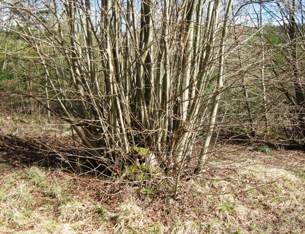 A Coppiced Stump