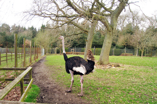 Ostrich at Birdworld